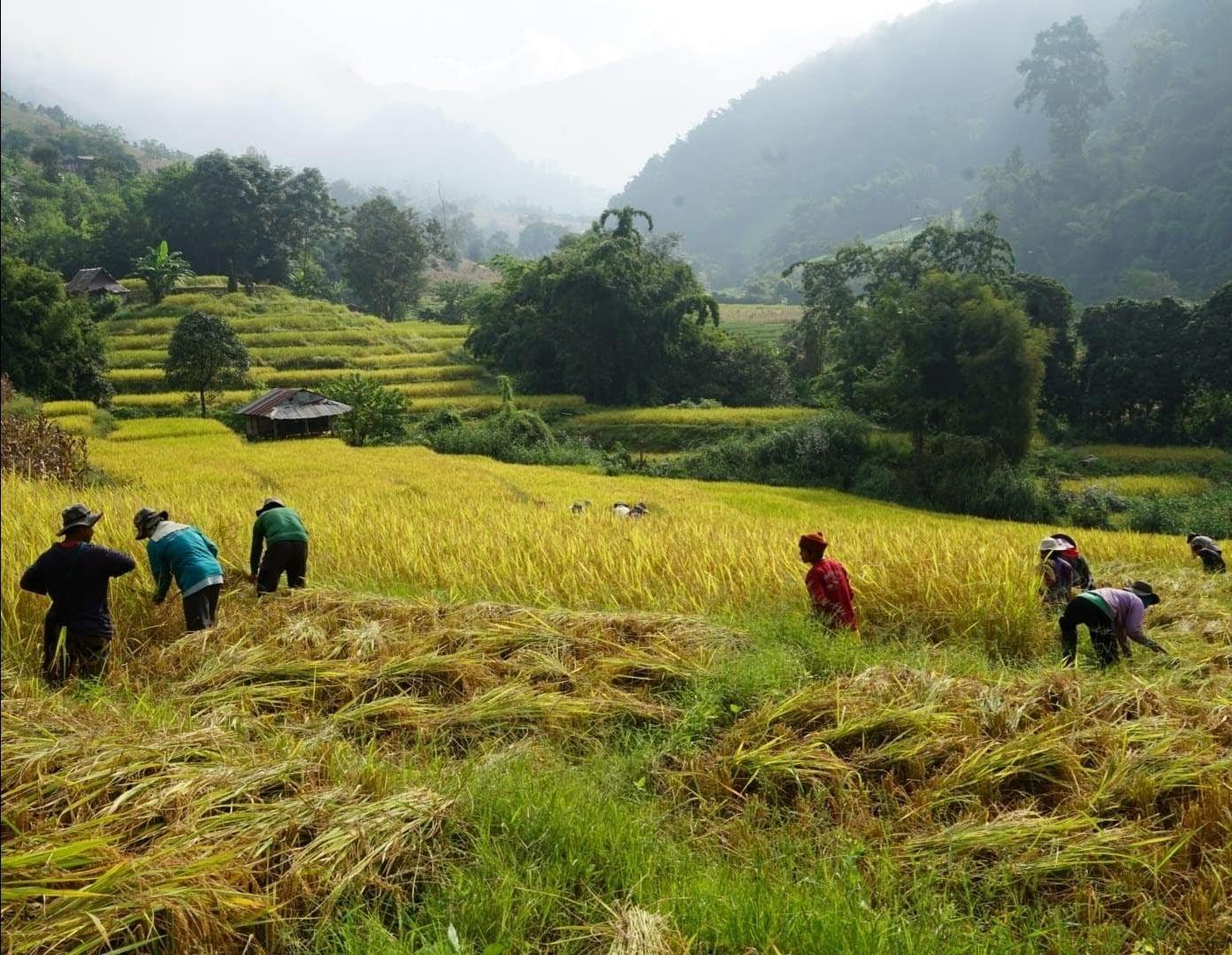 rijstvelden in Noord Thailand